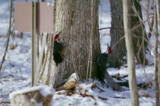 Fighting woodpeckers, dancing around a tree.